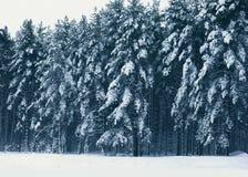 冬天风景森林,用雪盖的杉树 免版税库存照片