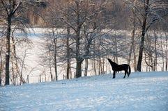 冬天马 库存图片