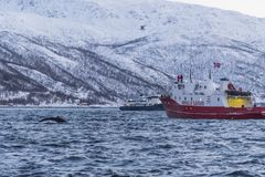 冬天鲸鱼徒步旅行队Tromsø 免版税库存照片