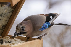 冬天鸟哺养 库存照片