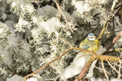 冬天鸟山雀 库存照片