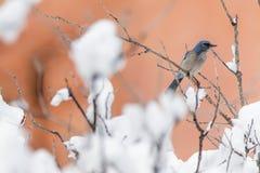 冬天鸟摄影-在积雪的灌木树的小鸟 库存图片