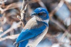 冬天鸟摄影-在积雪的灌木树的蓝色鸟 库存图片