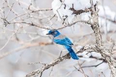 冬天鸟摄影-在积雪的灌木树的蓝色鸟 图库摄影