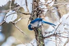 冬天鸟摄影-在积雪的灌木树的蓝色鸟 免版税图库摄影
