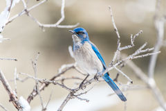 冬天鸟摄影-在积雪的灌木树的蓝色鸟 免版税库存照片