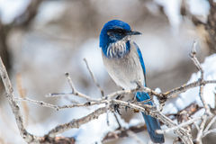 冬天鸟摄影-在积雪的灌木树的蓝色鸟 库存照片