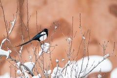 冬天鸟摄影-积雪的灌木树的鹊 免版税库存照片