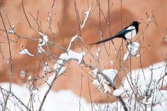 冬天鸟摄影-积雪的灌木树的鹊 图库摄影