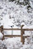 冬天鸟摄影-雪篱芭的鹊 免版税图库摄影