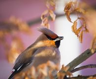 冬天鸟:在一个树枝的五颜六色的太平鸟在反对被弄脏的背景的一个晴朗的冬日 免版税库存照片