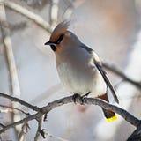 冬天鸟:在一个树枝的五颜六色的太平鸟在反对被弄脏的背景的一个晴朗的冬日 免版税图库摄影