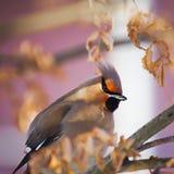 冬天鸟:在一个树枝的五颜六色的太平鸟在反对被弄脏的背景的一个晴朗的冬日 免版税库存图片