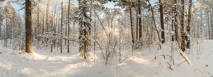 冬天,积雪的森林在一个晴天 33c 1月横向俄国温度ural冬天 PA 库存图片