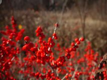 冬天:红色莓果在新英格兰 免版税库存图片
