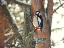 冬天 啄木鸟 免版税库存图片