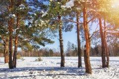 冬天 在森林圣诞节打过工的晴朗的冬日 12月多雪的自然 包括的杉木雪结构树 免版税库存图片