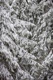 冬天 在spruse早午餐的雪 图库摄影