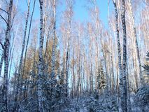 冬天晴天在森林里 免版税库存图片