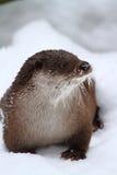 冬天水獭 库存图片