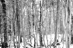 冬天黑白照片的森林 免版税图库摄影