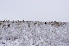 冬天 绵羊群在冬天吃草 免版税库存图片