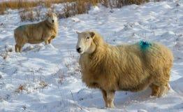 冬天绵羊 免版税库存图片