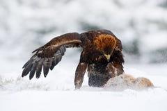 冬天从自然的野生生物场面 鹫用抓住野兔在多雪的冬天,雪在森林栖所 与鸟和f的风暴 免版税图库摄影