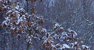冬天细节-下雪在与黄色叶子的分支 股票录像