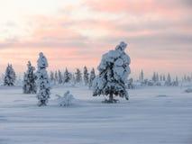 冬天pinetree 免版税库存图片