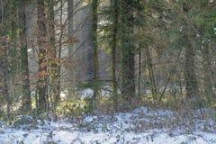 冬日在森林里 图库摄影