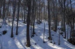冬时的山毛榉或山毛榉森林在Vitosha山 库存图片