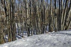 冬时的山毛榉或山毛榉森林在Vitosha山 库存照片