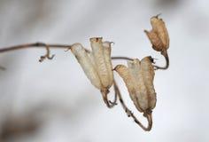 冬景花园的美丽的凋枯的花植物 免版税库存图片