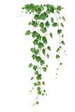 冬瓜或蜡金瓜藤与厚实的绿色叶子和趋向 免版税库存照片