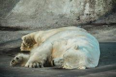 冬眠的北极熊 免版税库存照片
