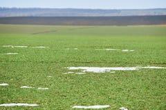 农村风景 冬麦的绿色领域与雪车道的 春天在乌克兰 免版税库存照片