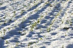 冬麦 库存照片