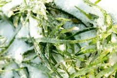 冰冷和多雪的绿草。 免版税库存图片