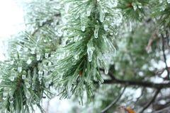 冰冷的云杉 免版税库存照片