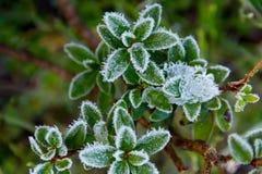 冰冷的叶子 库存图片