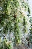 冰冷的枝杈厚皮刺果松(松属taeda)在冷冻镭以后 库存图片