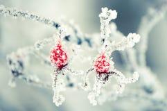 冰冷的dogrose 图库摄影
