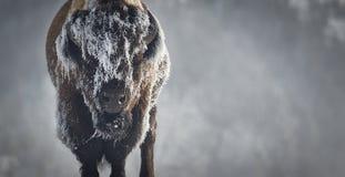 冰北美野牛 库存图片
