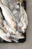 冰印地安人鲭鱼 库存照片