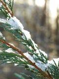 冰和雪在杜松在冬天分支 图库摄影