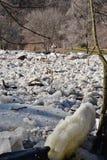 冰在Humber河的果酱在第一个测流堰 库存照片