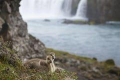冰岛。两三只冰岛绒鸭鸭子和Godafoss wate 免版税库存图片