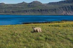 冰岛唯一绵羊 图库摄影