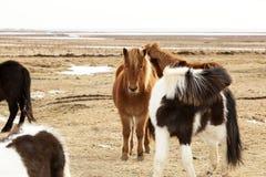 冰岛小马牧群  免版税库存图片